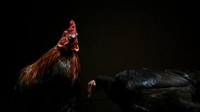 Kogut i Grzeczna karmazynka Zdjęcie Royalty Free