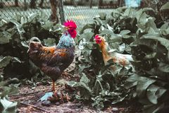 Kogut i kurczak Zdjęcia Stock