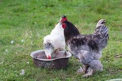 Kogut i kurczak na gospodarstwie rolnym zdjęcie stock