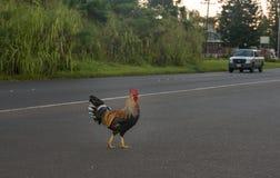 Kogut krzyżuje drogę z ciężarówką Obrazy Stock