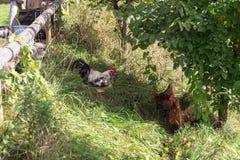 kogut kurczaka zdjęcie stock