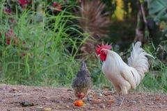 Kogut w podwórko gospodarstwo rolne zdjęcia royalty free