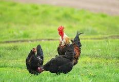 Koguta i kurczaka odprowadzenie na zielonej trawie na gospodarstwie rolnym Obrazy Stock