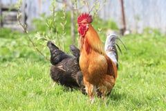 Koguta i kurczaka odprowadzenie na zielonej trawie na gospodarstwie rolnym w lecie Fotografia Royalty Free