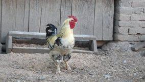Koguta podesłanie uskrzydla w chickencoop zdjęcie wideo