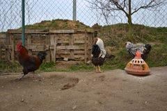 Koguty chodzą przy tradycyjnym wiejskim farmyard Fotografia Royalty Free