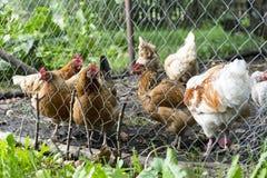 Koguty i karmazynki w kurczak klatce za ogrodzeniem przy gospodarstwem rolnym Obraz Royalty Free