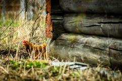 Koguty i kurczaki Obraz Stock
