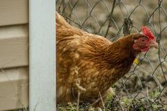 Koguty i kurczaki Zdjęcie Royalty Free