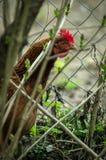 Koguty i kurczaki Obrazy Stock