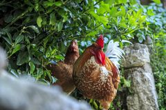 Koguty i kurczaki na ulicach Istanbuł fotografia royalty free