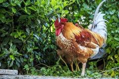 Koguty i kurczaki na ulicach Istanbu? obrazy stock