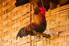 Koguty w przy ścianą dom Fotografia Stock