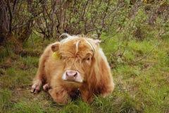 kohögland scotland Royaltyfri Fotografi