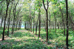 koh eukaliptusowy lasowy mak Obraz Stock