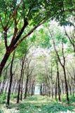 koh eukaliptusowy lasowy mak Fotografia Royalty Free