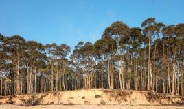koh eukaliptusowy lasowy mak Obrazy Stock