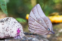 Koh-i-noor butterfly Royalty Free Stock Photos