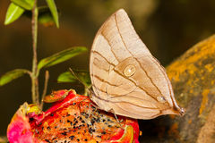 The Koh-I-Noor butterfly Stock Images