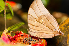 The Koh-I-Noor butterfly Stock Photo