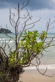 Koh kood. A bush on a beach, Koh Kood island, Thailand Stock Photography