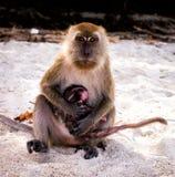 Koh Lipe, Thailand. Koh Lipe island monkey island nearby. Monkey and baby Stock Photography
