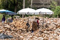 Koh Phangan Tajlandia 29 09 2015 lokalnych pracowników struga koks uprawiają ziemię wyspy Koh Phangan stosów dokrętki z grotu noż Obrazy Stock