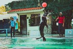 KOH SAMUI της ΤΑΪΛΑΝΔΗΣ στις 8 Απριλίου 2013 παιχνίδι λιονταριών ‹â€ ‹θάλασσας †Στοκ Φωτογραφίες