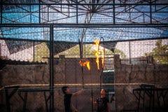 KOH SAMUI της ΤΑΪΛΑΝΔΗΣ στις 8 Απριλίου 2013 η πυρκαγιά παρουσιάζει τίγρες Στοκ φωτογραφία με δικαίωμα ελεύθερης χρήσης
