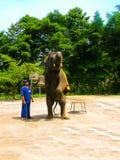 Koh Samui, Tailândia - 21 de junho de 2008: elefante novo que faz truques Imagens de Stock