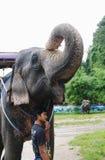 KOH SAMUI, TAILÂNDIA - 23 DE OUTUBRO DE 2013: Elefante no chicote de fios com tronco de levantamento e o mahout novo do menino Foto de Stock