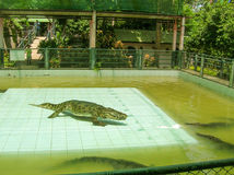 Koh Samui Tajlandia, Czerwiec, - 28, 2008: Krokodyla zapaśnika spełnianie przy przedstawieniem Fotografia Stock