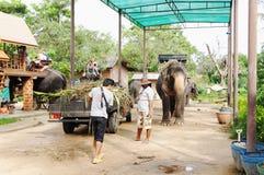 KOH SAMUI, THAÏLANDE - 23 OCTOBRE 2013 : Éléphants de ferme pour le trekking Photographie stock libre de droits