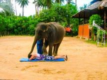 Koh Samui Thailand - Juni 21, 2008: ung elefant som gör trick Arkivfoton
