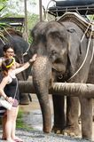 KOH SAMUI, THAILAND - OCTOBER 23, 2013: Boy and girl communicate with  elephant. KOH SAMUI, THAILAND - OCTOBER 23, 2013: happy young couple people stroking Royalty Free Stock Photography