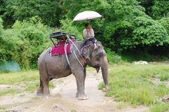 KOH SAMUI, THAILAND - OCTOBER 23, 2013: Mahout under umbrella sits on of elephant in harness Stock Image