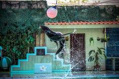 KOH SAMUI van THAILAND het Overzeese †van 8 APRIL 2013 leeuw ‹â€ ‹spelen Royalty-vrije Stock Afbeelding