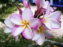 Koh van het de bloemeiland van reis likestyle frangipani tao Thailand Stock Fotografie