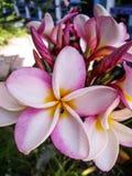 Koh van het de bloemeiland van reis likestyle frangipani tao Thailand royalty-vrije stock fotografie