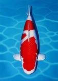Kohaku Koi Fish Arkivfoto