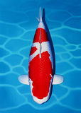 Kohaku Koi Fish. Oil painting on canvas of Kohaku Koi Fish Stock Photo