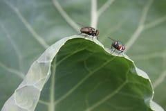 Kohl-Blatt mit Stubenfliegen Lizenzfreie Stockfotografie