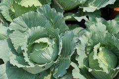 Kohl - capitata L. Sorten der Brassica Oleracea L. Lizenzfreies Stockfoto