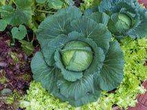 Kohl im Gemüsegarten Stockfotografie