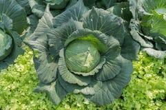 Kohl im Gemüsegarten Beschneidungspfad eingeschlossen Stockfotografie