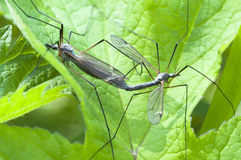 Kohl mosquitoes Royalty Free Stock Images