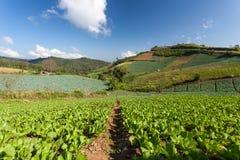 Kohl-Plantagen-Feld auf Berg Stockbild