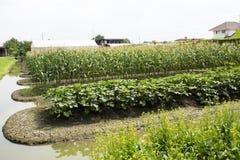 Kohl rapa chinensis oder Bok choy oder Anlage PAKs Choi im Garten Stockfoto