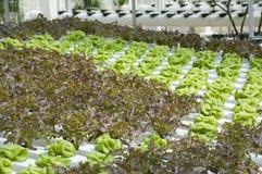 Kohl und Kopfsalat lizenzfreie stockfotos