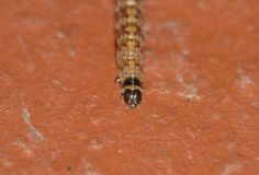 Kohl-Weiß-Schmetterling Caterpillar - Makrophotographie lizenzfreie stockbilder
